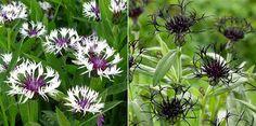 """Centaurea, 'Purple Heart', Centauria """"Black  Sprite"""""""