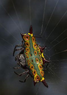 Rainbow spiny orb weaver (Gasteracantha westringi) spider at Holmes Jungles