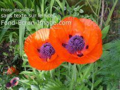 Fleur pavot coquelicots coeurs mauves