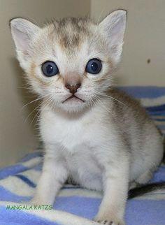 Singapura Kitten - Smallest cat breed....I want one just like this little cutie!