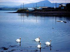 swans sailing into #bantry bay, #cork, #ireland