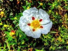 Flor de Esteva..