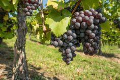 Foto: Rote Weintrauben mit Weinblatt