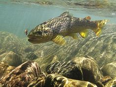 Brown Trout   (pic Shaun Futter)