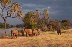 Elephants in the Samburu National Reserve, Kenya.