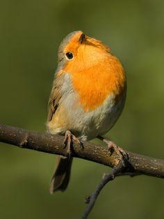 Robin by Valery   Sabah hev, Rødkælk, Rødhals, bird, cute, nuttet, adorable, photo