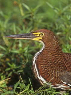 Tiger Heron Head, Tigrisoma Lineatum, Brazil, South America