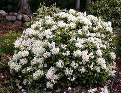 "Rhododendron × nikomontanum ""Alli"" low, yellow bloom Bloom, Yellow, Plants, Plant, Planets"