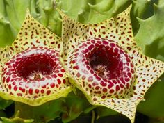 Huernia guttata : Huernia guttata is a perennial stem succulents. The erect stems branch at the base to form a clump up to 3 inches (7.5 cm) tall. The flowers emerge near the base of the stems, have five light yellow corolla lobes speckled with maroon dots. Around the corona, the inner flower parts, there is a prominent fleshy ring with a shiny surface.
