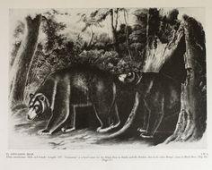Vintage 1951 John James Audubon Drawing Illustration Print- Cinnamon Bear Book Plate