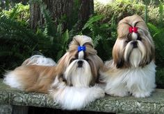 Shih-Tzu ♥i am hoping to get my buster to look something like this!!! LOL!!
