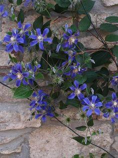 Integrifolia-Klematis 'Juuli' - Klängväxter - Trädgårdsväxter Plants, Plant, Planets