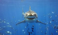 Can sharks smile? Do they even feel happy? | Earth | EarthSky Great White Shark Facts, Great White Shark Diving, Orcas, Beautiful Creatures, Animals Beautiful, Shark Photos, Shark Pics, Shark Pictures, Adoption