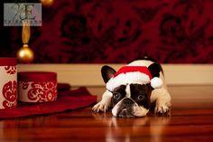 Batpig & Me Tumble It • French Bulldog Christmas Portrait French Bulldog...