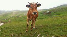 Dişi sığır (Düve)