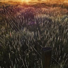 iPhone photo by David Guttenfelder @dguttenfelder. Lovely light on the field and fence row near Bear Creek Montana. On assignment for @natgeo in the GYE. by natgeo