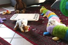 Adorable Paws / D-Wurf Malteser Welpen, 09.02.17, 5 Wochen alt, Züchter Daniela Krüger