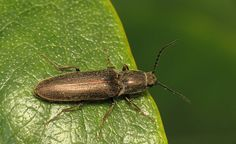 Found this click beetle hanging out on a leaf at Garden in the Woods.