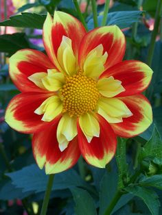 Collarette type dahlia because of the second row of petals on the inside of the red ones. Unusual Flowers, Wonderful Flowers, Rare Flowers, Beautiful Roses, Beautiful Flowers, Flower Images, Flower Pictures, Watercolor Flower, Belle Plante