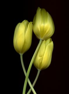 28678 Tulipa | by horticultural art