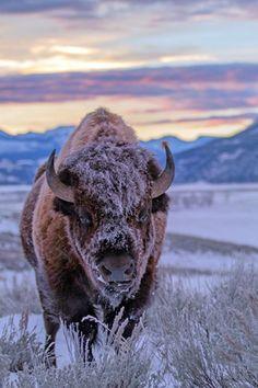 Suky buffalo art, nature animals, animals and pets, cute animals, wild creatures Nature Animals, Animals And Pets, Cute Animals, Wild Animals, Nature Pictures, Animal Pictures, Buffalo Animal, Buffalo Art, American Bison