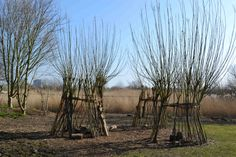Willow dens in winte