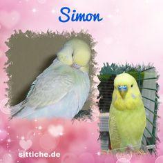 Simon, das kleine Fress-Säckchen - Wellensittich Forum und Galerie fuer Wellensittich-Freunde Parrot, Bird, Animals, Budgies, Friends, Parrot Bird, Animales, Animaux, Birds