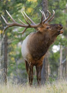 You needn't draw into a trophy unit or kill a record-book bull to succeed as an elk hunter. But you must do a few things right. Coyote Hunting, Pheasant Hunting, Archery Hunting, Wildlife Photography, Animal Photography, Elk Bugle, Elk Pictures, Elk Silhouette, Photo Animaliere