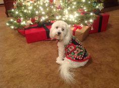 "Pet Clothes: ""Tuggles"" a Havanese is modeling a Christmas Reindeer fleece coat www.kaizensinstylekreations.com facebook.com/8996KaizenChun"