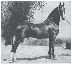 Dutch Harness Horse Graaf Oregon