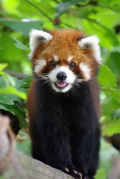 Red Panda Pictures Red pandas are small mammals with long, fleecy tails and red and white markings. In spite of the fact that they share a name with the more renowned goliath panda, they are not firmly related. Super Cute Animals, Cute Baby Animals, Animals And Pets, Animal Facts, My Animal, Red Panda Cute, Mundo Animal, Animal Photography, Pet Birds