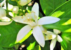 Cualidades medicinales de la flor de azahar