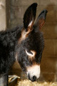 Poitou Donkey- because Donkeys are so beautiful and offer protection to the other farm animals from coyotes Baby Donkey, Cute Donkey, Donkey Donkey, Farm Animals, Animals And Pets, Cute Animals, Beautiful Horses, Animals Beautiful, Regard Animal