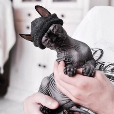 Sphynx cat is a special breed of cats that constantly need warmth. I present to you 15 warm clothes for Sphynx cats. Sphynx Gato, Sphynx Cat Black, Cute Baby Animals, Funny Animals, Wild Animals, Cute Hairless Cat, Beautiful Cats, Cat Breeds, Belle Photo