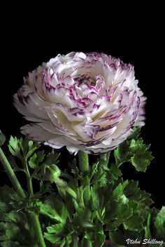 RANUNCULUS.  Too bad they're not winter hardy in Zone 4:-(