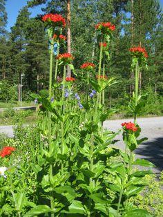 Kukkapenkki, palavarakkaus ja poimulehdet.