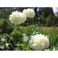 Mohn weiße Wolke selten Blumen Samen Start ein von CheapSeeds, $2.75