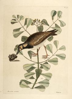 v. 1 - The natural history of Carolina, Florida, and the Bahama Islands: - Biodiversity Heritage Library