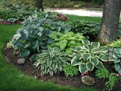 shade garden around tree - hostas, hostas everywhere!