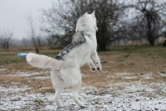 A Southern Snow Storm | by Signature Move Siberians