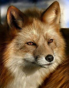 wildlife - red fox in the sunlight Animals And Pets, Baby Animals, Funny Animals, Cute Animals, Wild Animals, Nature Animals, Wildlife Photography, Animal Photography, Beautiful Creatures
