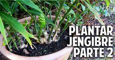 Vídeo de jengibre esencial para su cultivo | Cuidar de tus plantas es facilisimo.com