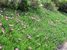 California Ice Plant Ground Cover - Make sure to visit GardenAnswers.com and download our free plant idenfication app.