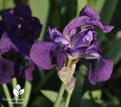 crimson king iris central texas gardener