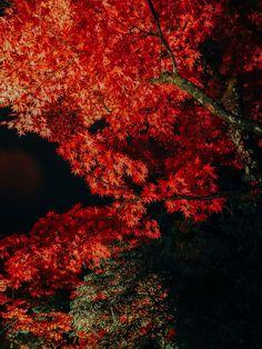 Night Fall Foliage of Nikko Rinnoji Temple Syoyoen. Nikko, Travel Photos, Temple, Tours, Fall, Autumn, Travel Pictures, Fall Season, Temples