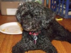 Sammi is an adoptable Poodle Dog in Newport, KY. Looking for a loyal lap dog? Sammi could be your boy. He wants to be with you. He's a lap poodle and he's not ashamed of it. He seems to be housebroken...