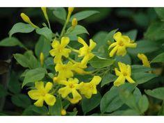 Jasmin d Italie, 50/60 cm pot 1L - Jasminum Humile Revolutum : acheter en ligne sur Jardins Du Monde. Pépinière, jardinerie en ligne. Livraison partout en Europe