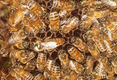 api regine selezionate ligustica - 2016 finita la produzione, contattare per…