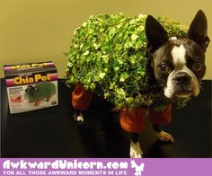 Chia pet costume on a Boston Terrier. haha Chia pet costume on a Boston Terrier. Halloween Costume Contest Winners, Best Dog Halloween Costumes, Pun Costumes, Costume Ideas, Animal Costumes, Diy Halloween, Happy Halloween, Crazy Costumes, Halloween Inspo
