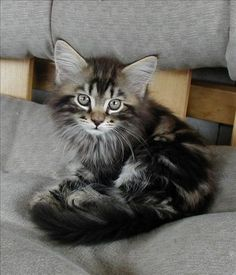Maine Coon kitten by milagros